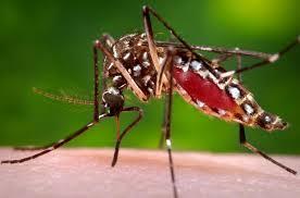 Aedes-aegypti-cdc